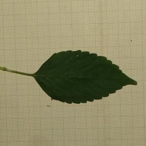 Photographie n°2324495 du taxon Galeopsis tetrahit L.