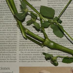 Photographie n°2324496 du taxon Galeopsis tetrahit L.