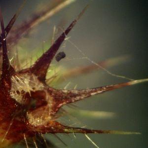 Photographie n°2324498 du taxon Galeopsis tetrahit L.