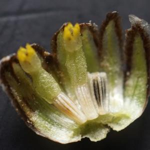 Photographie n°2324774 du taxon Leucanthemum vulgare Lam. [1779]