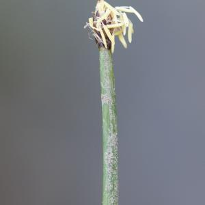 Photographie n°2324853 du taxon Eleocharis palustris (L.) Roem. & Schult.