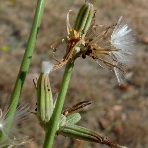 Photographie n°2324900 du taxon Chondrilla juncea L. [1753]