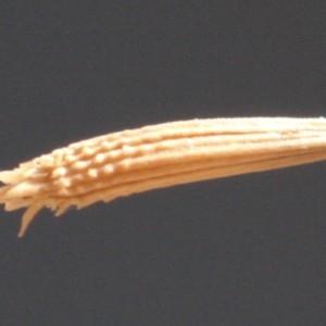 Photographie n°2324905 du taxon Chondrilla juncea L. [1753]