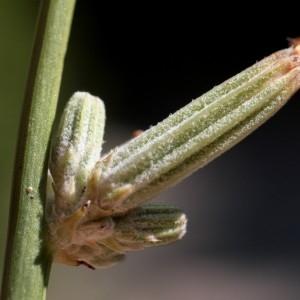 Photographie n°2324909 du taxon Chondrilla juncea L. [1753]