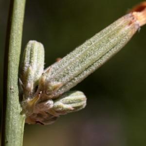 Photographie n°2324910 du taxon Chondrilla juncea L. [1753]
