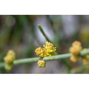 Ephedra distachya L. subsp. distachya (Éphédra à chatons opposés)