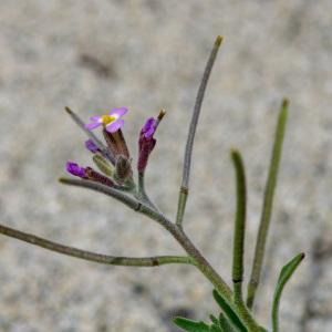 Photographie n°2325044 du taxon Marcus-kochia ramosissima (Desf.) Al-Shehbaz [2014]