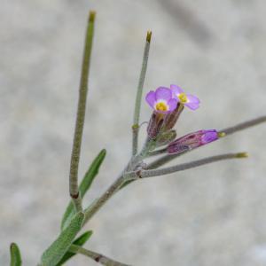 Photographie n°2325046 du taxon Marcus-kochia ramosissima (Desf.) Al-Shehbaz [2014]