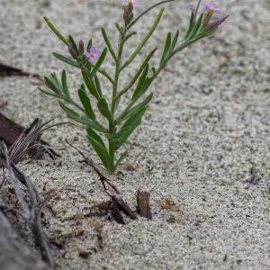 Photographie n°2325048 du taxon Marcus-kochia ramosissima (Desf.) Al-Shehbaz [2014]
