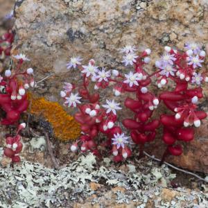 Photographie n°2325097 du taxon Sedum caeruleum L. [1771]