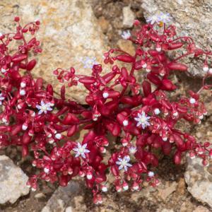 Photographie n°2325100 du taxon Sedum caeruleum L. [1771]