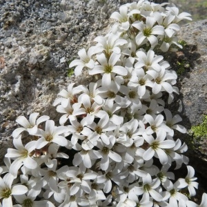 - Saxifraga corsica (Ser.) Gren. & Godr. [1848]