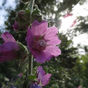 Photographie n°2325323 du taxon Althaea officinalis L. [1753]