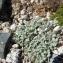 Pauline Guillaumeau - Leucanthemopsis alpina (L.) Heywood