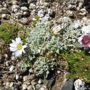 - Leucanthemopsis alpina (L.) Heywood