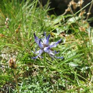 Photographie n°2325383 du taxon Phyteuma serratum Viv.