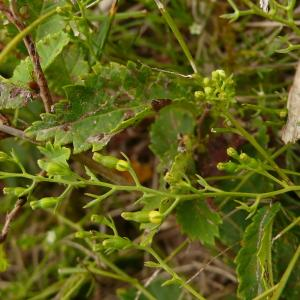 Photographie n°2325442 du taxon Thesium humifusum subsp. humifusum