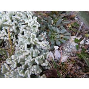Leucanthemopsis alpina subsp. tomentosa (Loisel.) Heywood (Marguerite laineuse)