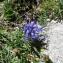 Pauline Guillaumeau - Phyteuma serratum Viv.