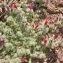Echium horridum Batt. [nn77467] par Madeleine Sarran le 14/04/2007 - Djebel Saghro