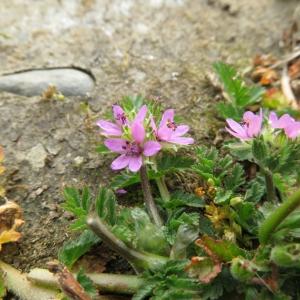 Photographie n°2325542 du taxon Erodium moschatum (L.) L'Hér.
