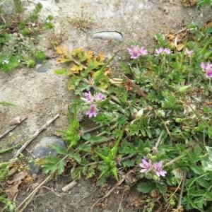 Photographie n°2325543 du taxon Erodium moschatum (L.) L'Hér.