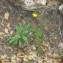 Hyoseris radiata L. [nn137925] par Patrick Leboulenger le 21/04/2019 - Mornaguia