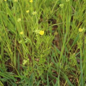 Photographie n°2325726 du taxon Ranunculus arvensis L. [1753]