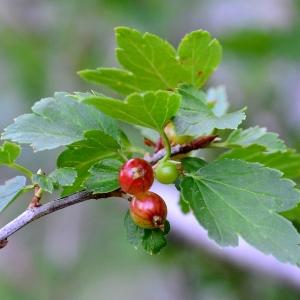 - Ribes alpinum L.