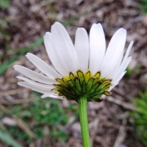 - Leucanthemum delarbrei Timb.-Lagr. ex Lamotte [1881]