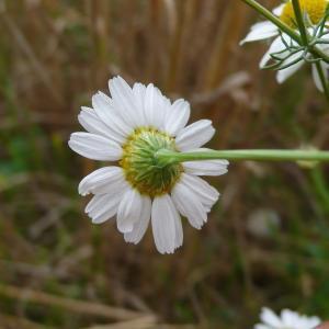 Photographie n°2326068 du taxon Tripleurospermum inodorum (L.) Sch.Bip. [1844]