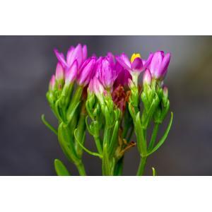 Centaurium erythraea subsp. rhodense (Boiss. & Reut.) Melderis (Petite-centaurée de Rhodes)