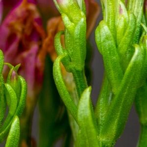 - Centaurium erythraea subsp. rhodense (Boiss. & Reut.) Melderis [1972]