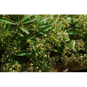 Rubia peregrina subsp. longifolia (Poir.) O.Bolòs (Garance à longues feuilles)