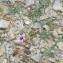 Scorzonera undulata subsp. deliciosa (Guss. ex DC.) Maire [nn139146] par Patrick Leboulenger le 21/04/2019 - Mornaguia