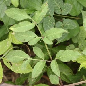 Photographie n°2326277 du taxon Angelica sylvestris L. [1753]