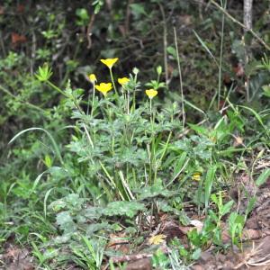 Photographie n°2326298 du taxon Ranunculus bulbosus L. [1753]