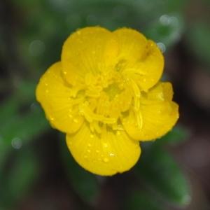 Photographie n°2326299 du taxon Ranunculus bulbosus L. [1753]