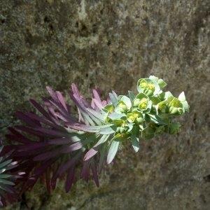 - Euphorbia characias L. [1753]