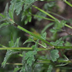 Photographie n°2326302 du taxon Ranunculus bulbosus L. [1753]