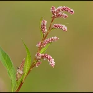 - Persicaria lapathifolia (L.) Delarbre [1800]