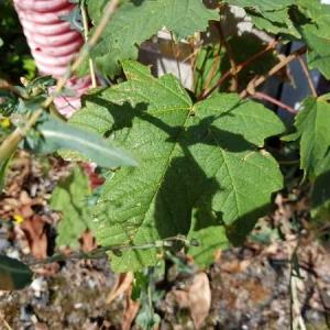 Photographie n°2326398 du taxon Acer pseudoplatanus L.