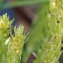 Liliane Roubaudi - Selaginella selaginoides (L.) Link [1841]