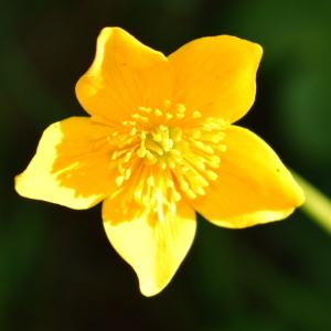 - Ranunculus thora L. [1753]