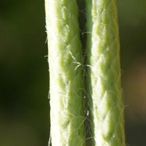 Photographie n°2326483 du taxon Lycopodium clavatum L. [1753]