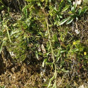 Photographie n°2326484 du taxon Lycopodium clavatum L. [1753]