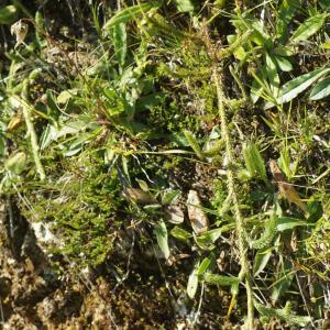 Photographie n°2326485 du taxon Lycopodium clavatum L. [1753]