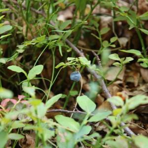 Photographie n°2326544 du taxon Vaccinium myrtillus L.