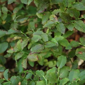Photographie n°2326546 du taxon Vaccinium myrtillus L.