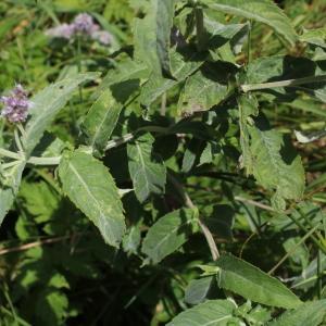 Photographie n°2326551 du taxon Mentha longifolia (L.) Huds. [1762]